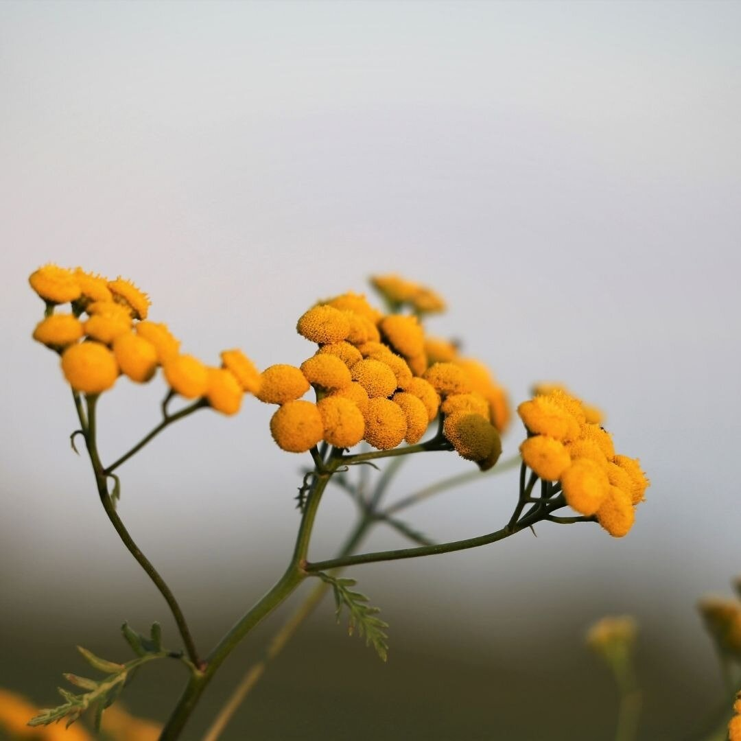 Helichrysum: history and legend of an immortal plant