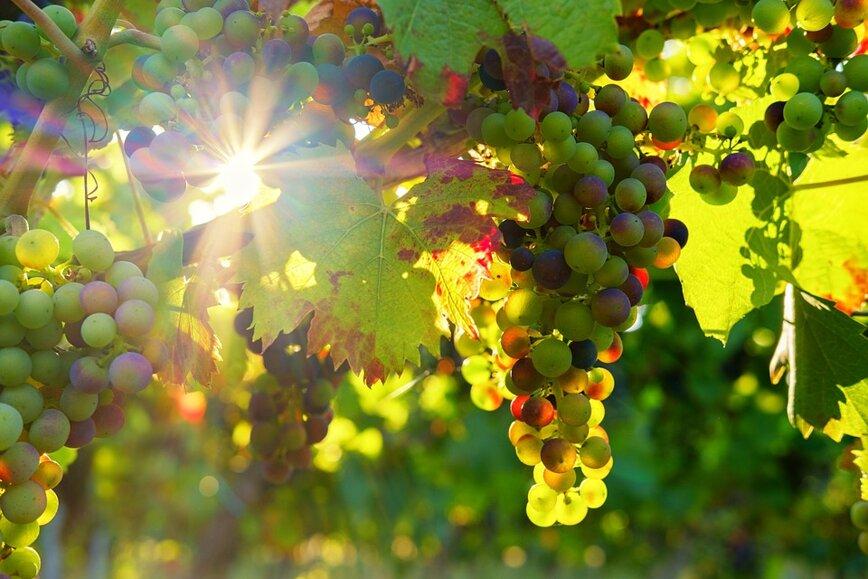 grapes-3550729960720