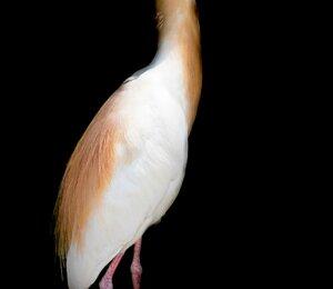 araaraunacopia