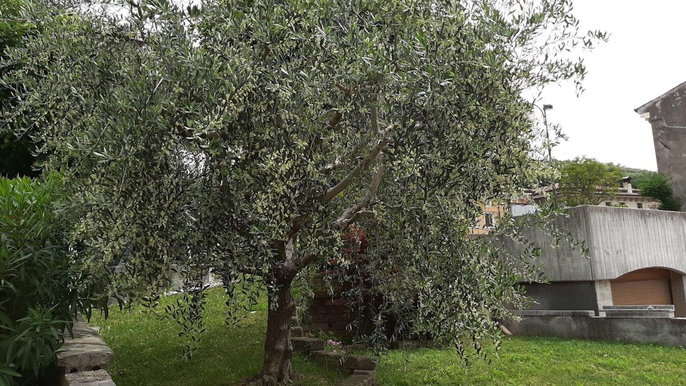 Immagine olivo Contri.Flli Cazzano di Tramigna