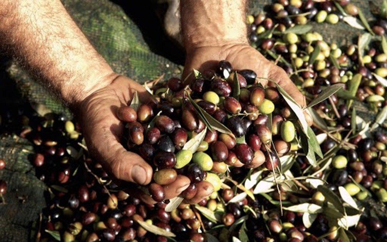 Immagine olive Contri.Flli Cazzano di Tramigna