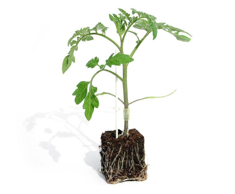 piante innestate